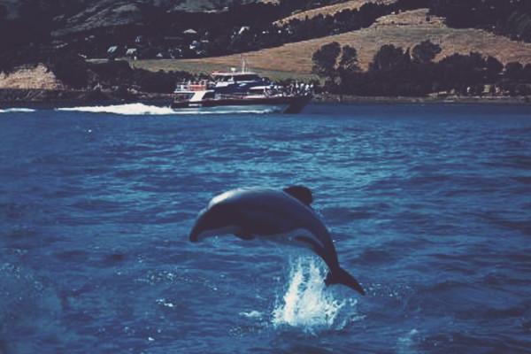 Zwemmen met de hector dolfijnen