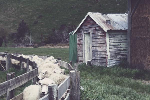 Schapen, schapen en nog eens schapen