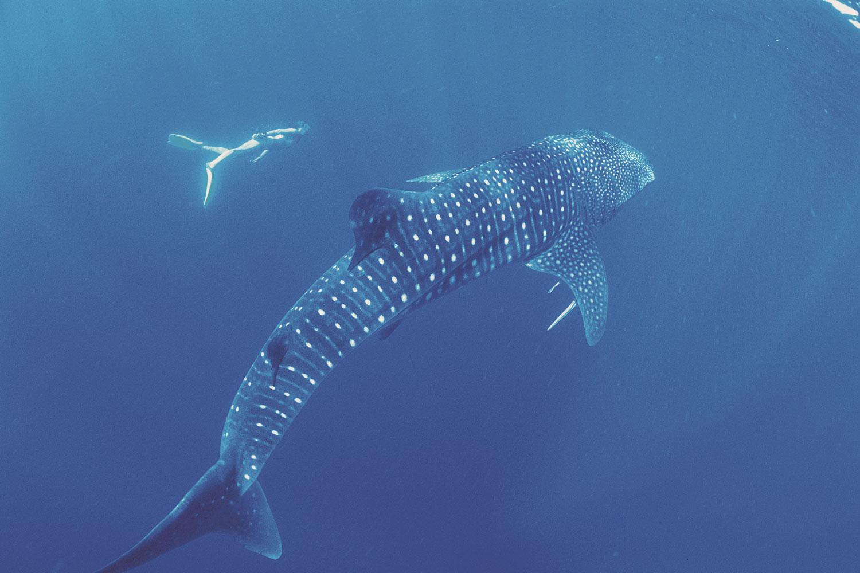 selectie-oz-whalesharks-1
