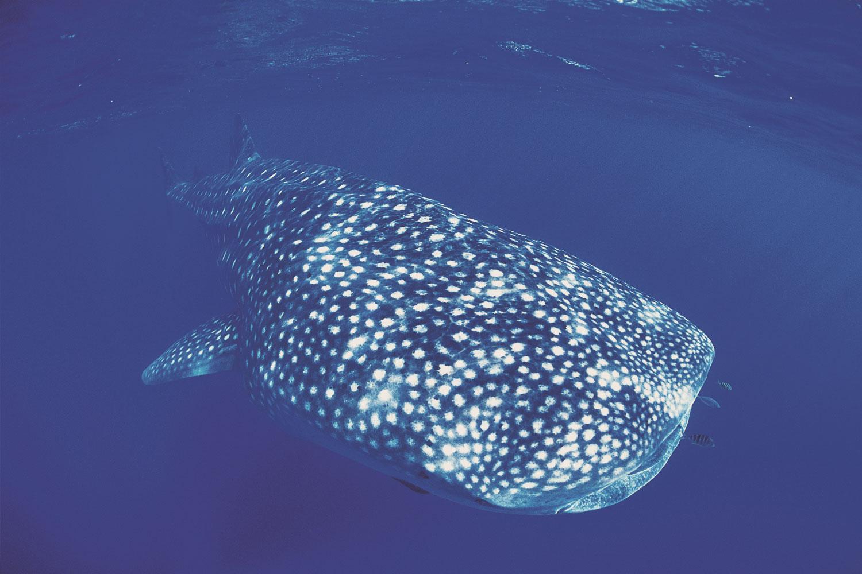 selectie-oz-whalesharks-2